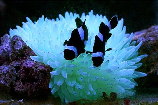Amphiprion darwini full black élevage 3-4 cm le couple + anemone 8-15 cm Le trio