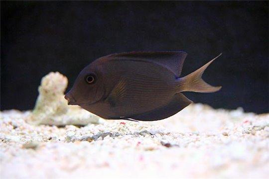 Ctenochaetus Striatus 7-9