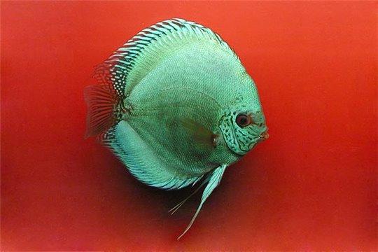 Discus Solid Turquoise (5 cm)