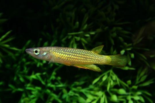 Aplocheilus lineatus (jaune) - L
