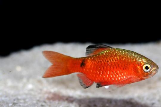 Barbus cochonius (Puntius) - L