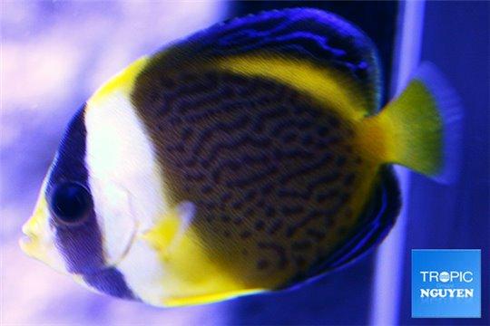Chaetodontoplus duboulayi élevage 4-6 cm