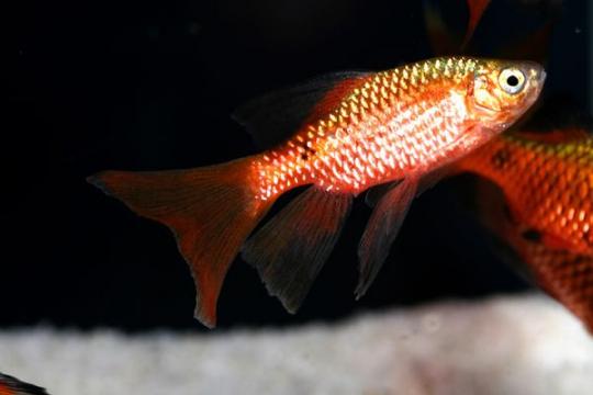 Barbus cochonius voile (Puntius) - L