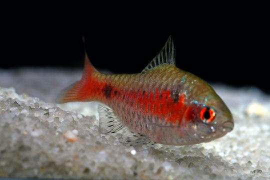Barbus ticto (Puntius) - ML