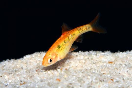 Barbus sachsii (Puntius) - M