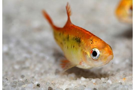 Barbus sachsii (Puntius) - ML