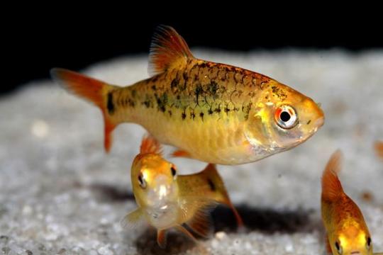 Barbus sachsii (Puntius) - XL