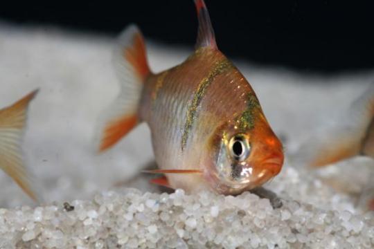 Barbus sumatra (P. tetrazona) - M