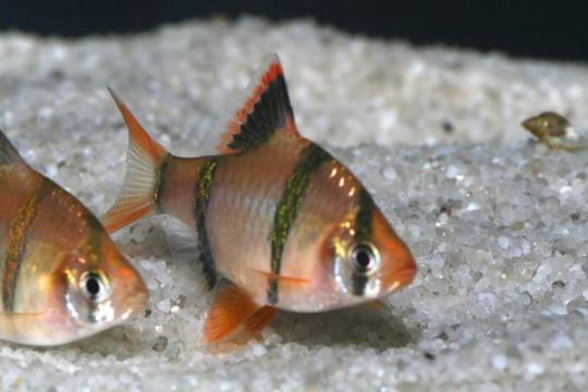 Barbus sumatra (P. tetrazona) - L