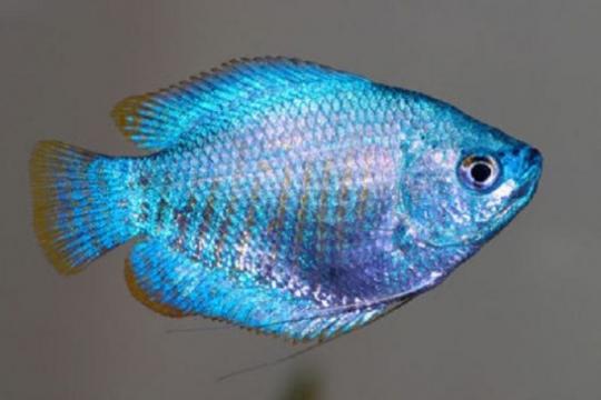 Colisa lalia néon bleu le cpl - L