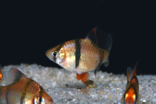 Barbus sumatra (P. tetrazona) - XL