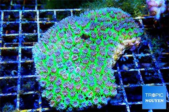 Galaxea sp. vert élevage 10-15 cm