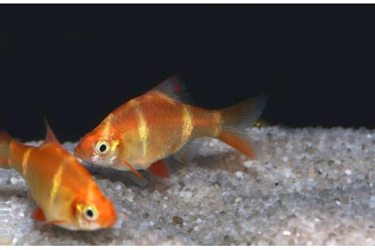 Barbus sumatra doré (P. tetrazona) - M