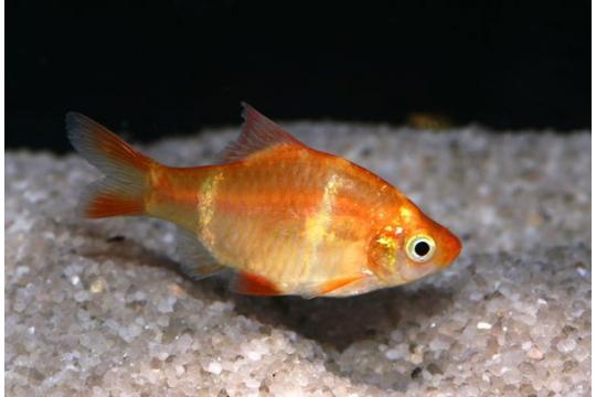 Barbus sumatra doré (P. tetrazona) - ML