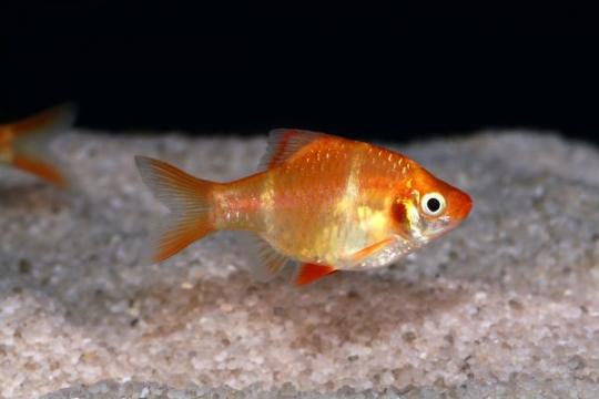 Barbus sumatra doré (P. tetrazona) - L