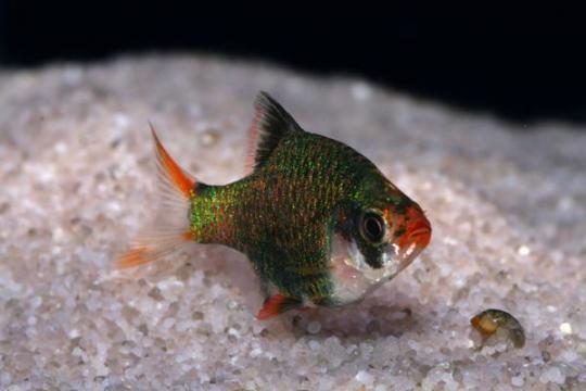 Barbus sumatra vert (P. tetrazona) - SM