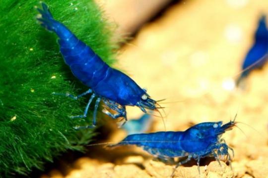 Crevette Carid. babaulti bleue - 1-2 .