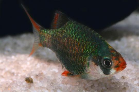 Barbus sumatra vert (P. tetrazona) - M