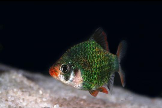 Barbus sumatra vert (P. tetrazona) - L