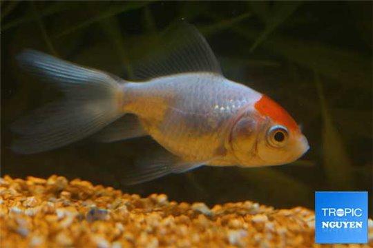 Voile japonais red cap 6-7 cm