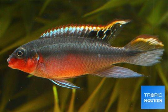 Pelvicachromis pulcher double rouge 4-5 cm