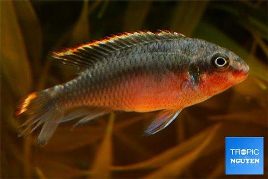 Pelvicachromis pulcher double rouge 6-8 cm