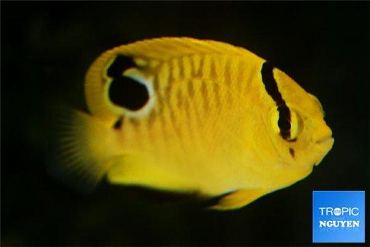 Apolemichthys xanthopunctatus élevage Juv