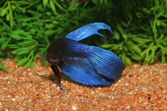 Betta mâle bleu - XL