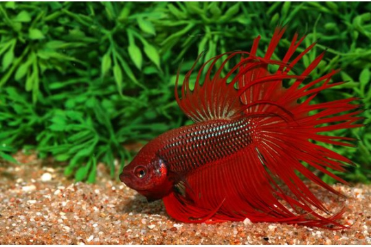 Betta mâle crowntail varié - XL
