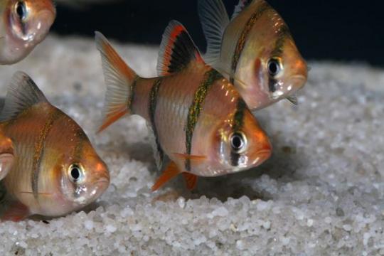 Barbus sumatra varié (P. tetrazona) - M