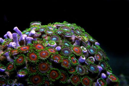 Coraux mous variés 4-6 cm