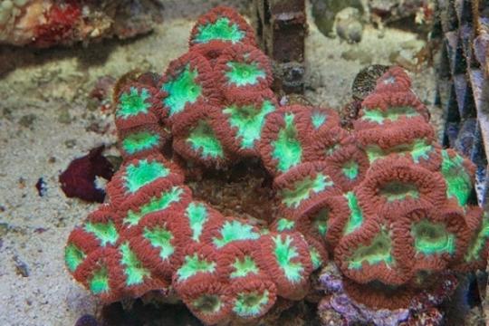 Blastomussa Wellsi rouge /vert - le polype