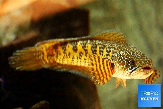 Channa aurantimaculata 20-25 cm