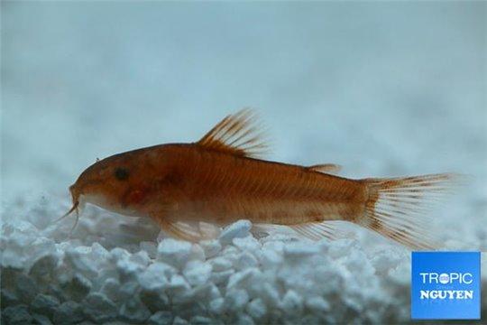 Aspidoras C125 red 2-3 cm