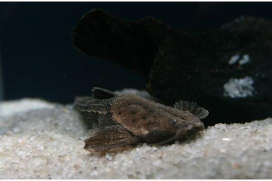 Bunocephalus coracoideus - ML