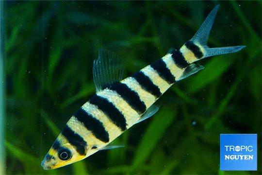 Leporinus fasciatus 7-8 cm