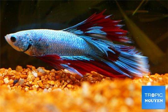 Betta mâle varié solid color 5-6 cm