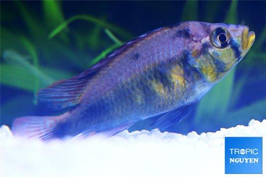 Haplochromis yellow belly 5-6 cm