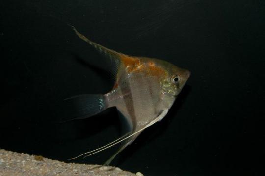 Scalaire Manacapuru Red Back - Adulte