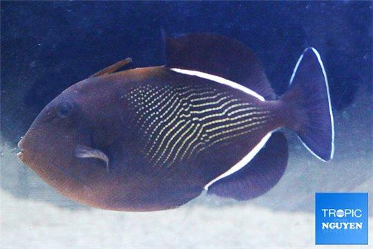 Melichthys indicus L