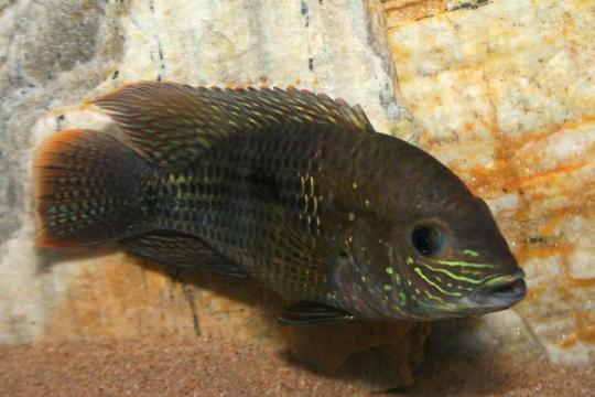 Aequidens rivulatus - 4-5.
