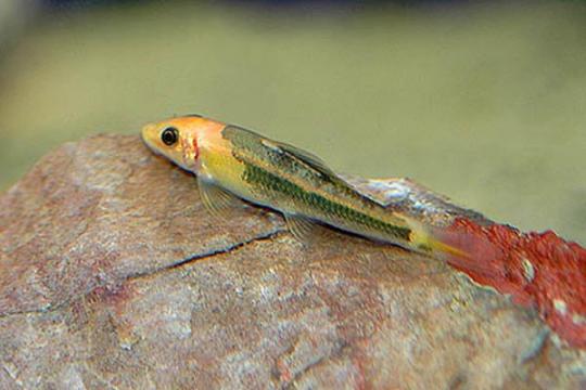 Gyrinocheilus aymonieri bicolor - L