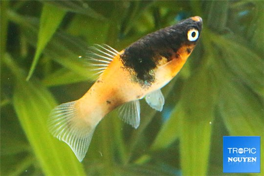 Platy bumble bee 2,4-2,8 cm
