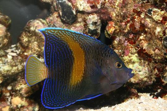 Pomacanthus Maculosus - 9-12