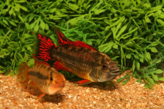 Apisto. cacatuoides double rouge - 3-4.