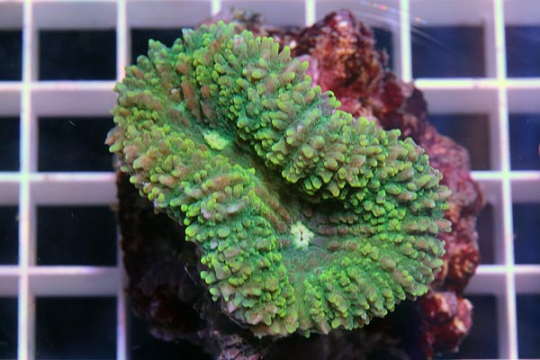 Lobophyllia Coloré - XL