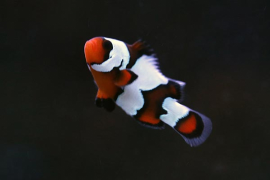 Amphiprion Ocellaris blackice elevage 3-4