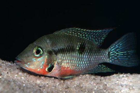Thorichthys meeki - 6-8.