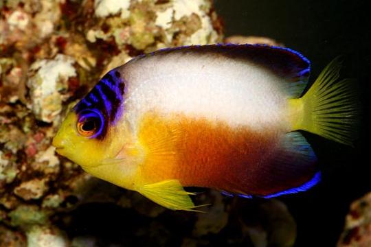 Centropyge Multicolor - L