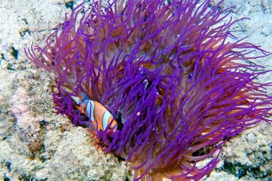 Anemone Heter. Crispa violette - L